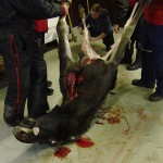 Hirven nylkeminen - Skinning the Elk